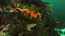 Leafy sea dragon (Phycodurus eques)