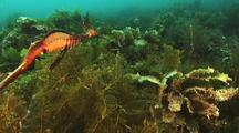 Common Weedy sea dragon, Phyllopteryx taeniolatus
