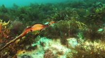Common Weedy sea dragon, Phyllopteryx taeniolatus