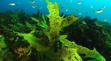 Rocky reef, common kelp