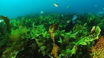 Fish Swim Through Kelp Forest