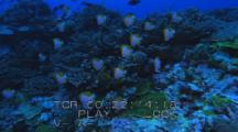 Travel Over Coral Reef Topped With Pyramid Butterfly Fish