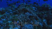Travel Over Dense Coral Reef Topped By School Of Black Fish