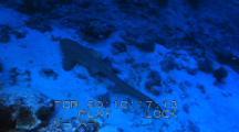 Leopard (zebra) Shark (Stegostoma fasciatum)
