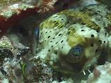 Shy Balloonfish Hides In Coral