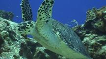 Hawksbill Turtle Swims Past  Camera Over Reef