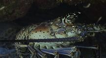Spiny Lobster Rests Under Overhang On Reef