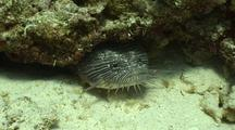 Splendid Toad Fish Sits In Hole On Reef