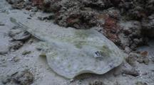 Yellow Stingray Swims Directly Towards Camera And Turns