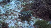 Spiny Lobster Walks Sideways Then Backwards Over Reef In Defensive Attitude Looking For Refuge