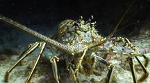 Spiny Lobster Approaches Camera Directly Head On