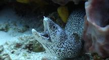 Close Up On Spotted Moray Eel Under Sponge With Mouth Wide Open