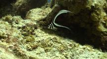Spotted Drum Fish Swims In Circles On Coral Reef