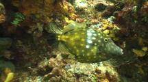 Camera Approaches White Spotted Filefish On Reef