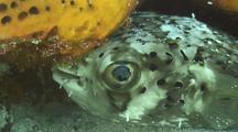 Balloonfish Hides Under Sponge