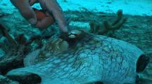 Diver Tickles  Common Octopus  In Coral On Sand
