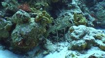 Spiny Lobster Tries To Reverse Into Overhang On Coral Reef