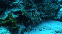 Large Spiny Lobster Scuttles Across Coral Reef