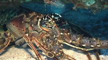 Spiny Lobster Sits Under Overhang On Reef
