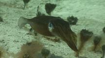 Caribbean Reef Squid Hovers Over Sandy Bottom