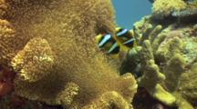 Clown Fish Pair In Nest On Great Barrier Reef Shot 1