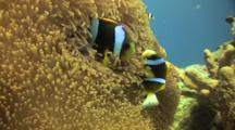 Clown Fish Pair In Nest On Great Barrier Reef Shot 2