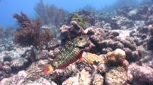 Stoplight Parrotfish Looks At Camera, Sideview