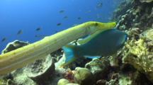 Closeup Yellow Trumpetfish Hunting With Parrotfish, Shadowing