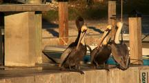 Pelicans Waiting For Fish Scraps
