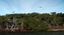 Pelicans Nesting In  Mangroves