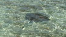 Sting Ray In Florida Keys Back Country