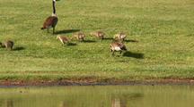 Baby Geese Feeding