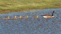 Baby Geese Swimming After Parent