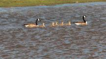 Baby Geese Swimming With Parents