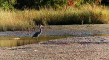 Blue Heron At Rest With Clams Squirting