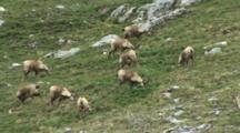 Chamois Group Feeding On New Spring Growth