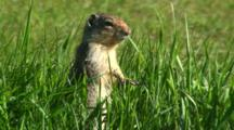 Columbian Ground Squirrel Feeding In Long Grass Then Exits