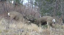 Mule Deer Fight During Rut Larger Buck Wins