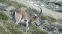 Spanish Ibex Ram Feeding Then Walking From Shot