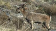 Spanish Ibex Ram Courtship Display