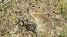 Suslik, European Ground Squirrel Feeding Using Front Paws