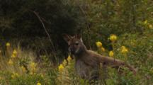 Red-Necked Wallaby Watching Listening Spots Danger