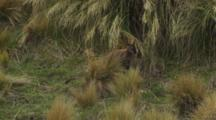 Red-Necked Wallaby In Tussock Checking Scent