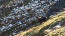 Himalayan Tahr Bull Looking Down Slope