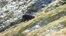 Himalayan Tahr Bull Feeding On Tussock Slope