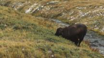 Himalayan Tahr Bull Feeding Near Small Stream Exits