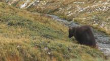 Himalayan Tahr Bull Feeding Near Small Stream