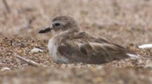 Endangered New Zealand Dotterel Non-Breeding Resting On Beach