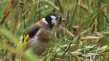 Goldfinch Feeding On Grass Seed In The Rain