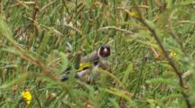 Goldfinch Feeding On Dandelion Seed Heads In The Rain